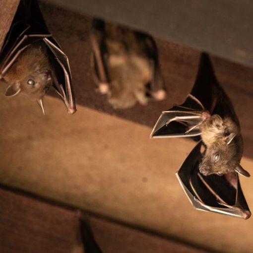 AAA Public Adjusters, LLC when bats invade